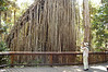 "The famous Curtain Fig near Yungaburra  <div id=""caption_tourlink"" align=""right"">[photo © participant Jack Brown]</div>"