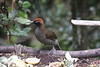 "Female-plumaged Brown Sicklebill  <div id=""caption_tourlink"" align=""right"">[photo © guide Phil Gregory]</div>"