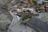 "White-browed Scrubwren  <div id=""caption_tourlink"" align=""right"">[photo © guide Phil Gregory]</div>"