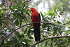 "Male Australian King-Parrot  <div id=""caption_tourlink"" align=""right"">[photo © guide Phil Gregory]</div>"