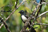 "Willie Wagtail  <div id=""caption_tourlink"" align=""right"">[photo © participant Jack Brown]</div>"