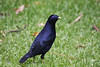 "Male Satin Bowerbird at O'Reillys -- note the violet eye!  <div id=""caption_tourlink"" align=""right"">[photo © guide Phil Gregory]</div>"