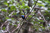 "Variegated Fairywren male near Brisbane  <div id=""caption_tourlink"" align=""right"">[photo © guide Phil Gregory]</div>"