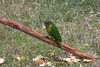 "Brehm's Tiger-Parrot  <div id=""caption_tourlink"" align=""right"">[photo © guide Phil Gregory]</div>"