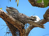 Tawny Frogmouth on its stick nest (Photo by participant Merrill Lester)