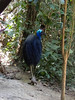 Southern Cassowary at Cassowary House (Photo by participant Tony Brake)