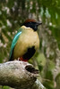 And the equally beautiful Noisy Pitta at O'Reilly's (Photo by participant Tony Brake)