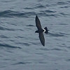 New Zealand Storm-Petrel, long believed extinct. Photo by guide Dan Lane.