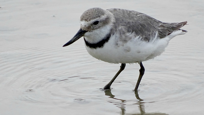 The distinctive Wrybill, photographed by guide Dan Lane.