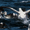 A scrum of albatrosses fighting for the chum. Photo by participant Gregg Recer.