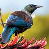 Tui is a large, endemic honeyeater. Photo by participant Gregg Recer.