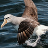 Salvin's Albatross is one of at least 4 albatrosses we might see. Photo by participant Gregg Recer.