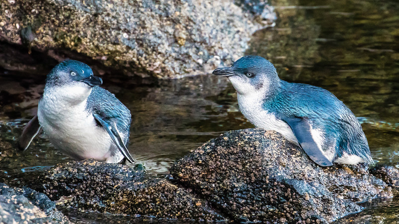 Little Penguins, photographed by participant Gregg Recer