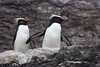 "Fiordland Crested Penguins in Milford Sound <div id=""caption_tourlink"" align=""right""> [photo © guide Phil Gregory]</div>"