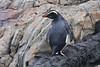 "Fiordland Crested Penguin, a rare and difficult species that we see well in Milford Sound <div id=""caption_tourlink"" align=""right""> [photo © guide Phil Gregory]</div>"