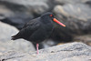 "Variable Oystercatcher black form, endemic to New Zealand <div id=""caption_tourlink"" align=""right""> [photo © guide Phil Gregory]</div>"
