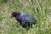 "Takahe on Tiri -- it is one of the rarest and largest of the rails. <div id=""caption_tourlink"" align=""right""> [photo © guide Phil Gregory]</div>"