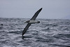 "Salvin's Albatross off Kaikoura <div id=""caption_tourlink"" align=""right""> [photo © guide Phil Gregory]</div>"