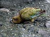 """Kea, the inquisitive alpine parrot of South Island -- this one was near the Homer Tunnel. <div id=""""caption_tourlink"""" align=""""right""""> [photo © participant Diana Bradshaw]</div>"""
