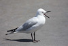 "Black-billed Gull, a New Zealand endemic <div id=""caption_tourlink"" align=""right""> [photo © guide Phil Gregory]</div>"