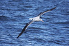 "Southern Royal Albatross off Kaikoura <div id=""caption_tourlink"" align=""right""> [photo © guide Phil Gregory]</div>"