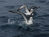"Shy Albatross <div id=""caption_tourlink"" align=""right""> [photo © participant Diana Bradshaw]</div>"