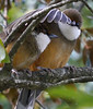 White-throated Laughingthrushes by participants David and Judy Smith -- one almost seems to be shading the other...