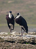 Wooly-necked Storks by participants David and Judy Smith -- hmmm...what's that in the background at right?