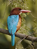 White-throated Kingfisher by participants David and Judy Smith