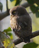 Jungle Owlet in Sitabani Forest near Ramnagar by participants David and Judy Smith