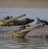 Gharial in the Chambal River...oh my, what big teeth you have! (Photo by participants David and Judy Smith)