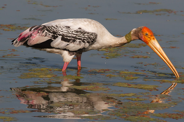 Painted Stork offers an unusual assortment of colors and patterns. (Photo by participant Marshall Dahl)