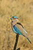 "Indian Roller <div id=""caption_tourlink"" align=""right"">[photo © participant Paul Thomas]</div>"