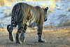 "Tiger stroll <div id=""caption_tourlink"" align=""right"">[photo © participant Paul Thomas]</div>"