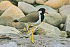 """Red-wattled Lapwing <div id=""""caption_tourlink"""" align=""""right"""">[photo © participant Paul Thomas]</div>"""