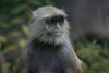 "Common Langur <div id=""caption_tourlink"" align=""right"">[photo © participant Paul Thomas]</div>"