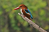 """White-breasted Kingfisher <div id=""""caption_tourlink"""" align=""""right"""">[photo © participant Paul Thomas]</div>"""