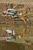"""Painted Stork <div id=""""caption_tourlink"""" align=""""right"""">[photo © participant Paul Thomas]</div>"""