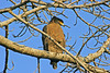 "Crested Serpent-Eagle <div id=""caption_tourlink"" align=""right"">[photo © participant Paul Thomas]</div>"