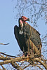 "Red-headed Vulture <div id=""caption_tourlink"" align=""right"">[photo © participant Paul Thomas]</div>"