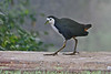 """White-breasted Waterhen <div id=""""caption_tourlink"""" align=""""right"""">[photo © participant Paul Thomas]</div>"""