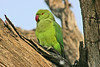 "Rose-ringed Parakeet <div id=""caption_tourlink"" align=""right"">[photo © participant Paul Thomas]</div>"