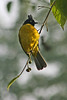 "Black-crested Bulbul <div id=""caption_tourlink"" align=""right"">[photo © participant Paul Thomas]</div>"
