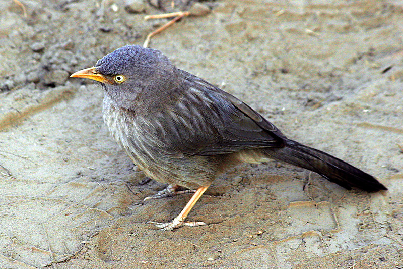 "Jungle Babbler <div id=""caption_tourlink"" align=""right"">[photo © participant Paul Thomas]</div>"