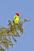"Plum-headed Parakeet <div id=""caption_tourlink"" align=""right"">[photo © participant Paul Thomas]</div>"