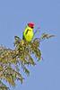"""Plum-headed Parakeet <div id=""""caption_tourlink"""" align=""""right"""">[photo © participant Paul Thomas]</div>"""