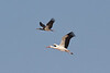 Storks were in good numbers around Salalah. We saw several hundred White Storks and about 20 Abdim's Storks. (Photo by guide George Armistead)