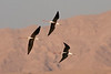 Black-winged Stilts flying in front of the Hajar Mountains at Buraimi, Oman. (Photo by guide George Armistead)
