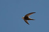 Pallid Swifts fed on the aerial plankton swirling above the settling ponds in Buraimi. (Photo by guide George Armistead)