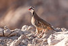 Jebel Hafeet is suddenly (and suspiciously) covered up in Chukars. Introduced or not, they are always a pleasure to see. (Photo by guide George Armistead)